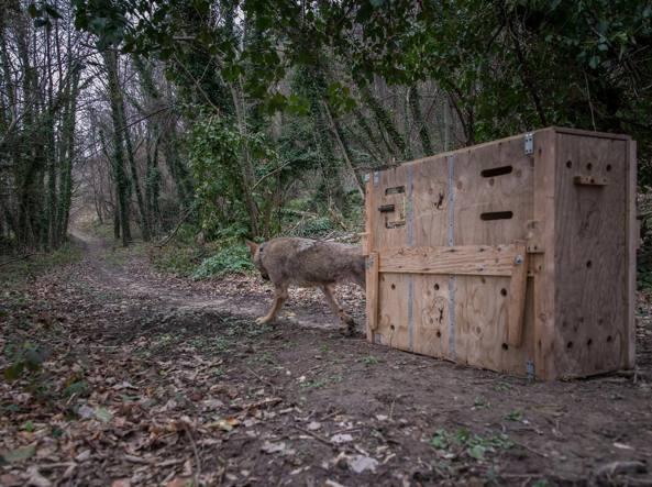La liberazione del lupo Claudio dopo le cure (Foto Ente Parco / Lenti /  Miglarini)