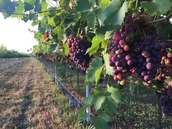 Mediobanca, esportazione vino in crescita nel 2015