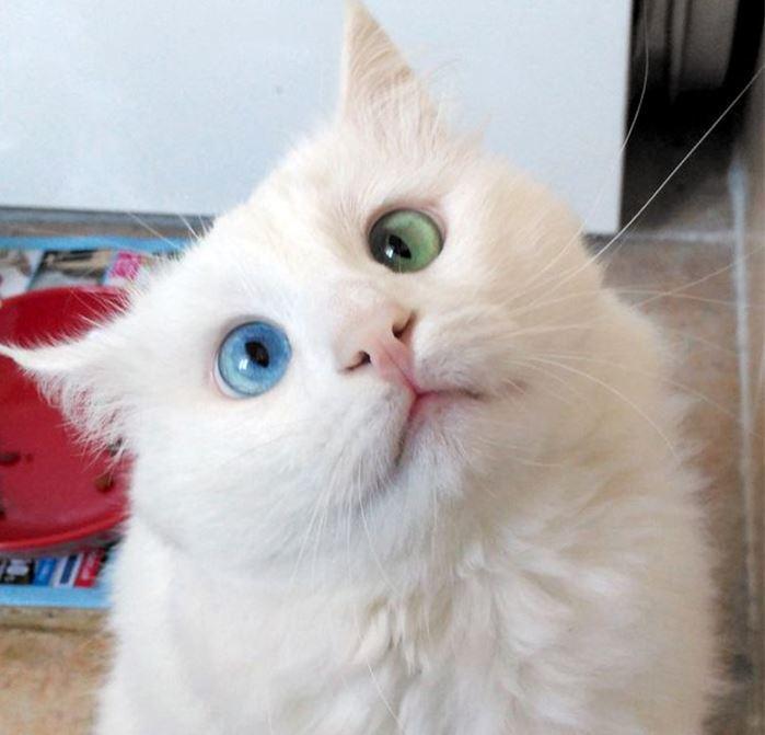 Alos lui il gatto con gli occhi di due colori pi for Gatti con occhi diversi