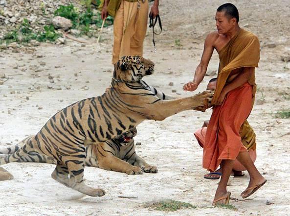 I monaci buddisti thailandesi e il caso delle tigri for Disegni delle tigri
