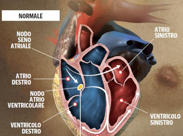 Un cuore che lavora normalmente (illustrazione di Mirko Tangherlini)