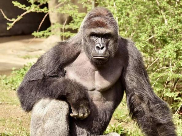 Gorilla ucciso in zoo per salvare bimbo