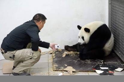 Belgio, un Panda gigante dà alla luce un cucciolo: «Un miracolo»