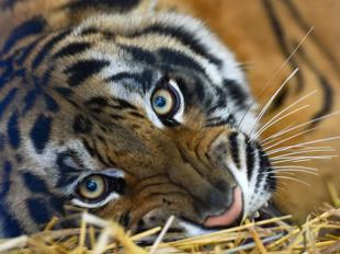 Scienze animali corriere della sera for Disegni delle tigri