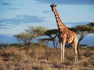 Giraffe: la moltiplicazione delle specie, da una diventano quattro
