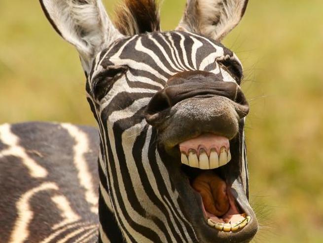 Risate bestiali, il lato buffo della natura: Comedy Wildlife Photography Awards, le foto finaliste