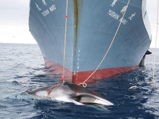 Caccia alle balene,  attesa per il voto decisivo al summit mondiale