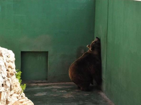 Un orso bruno sofferente dentro un recinto di cemento  (foto Lav)