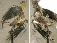 Trovate le tracce della pelle più antica È di un uccello di 130 milioni di anni