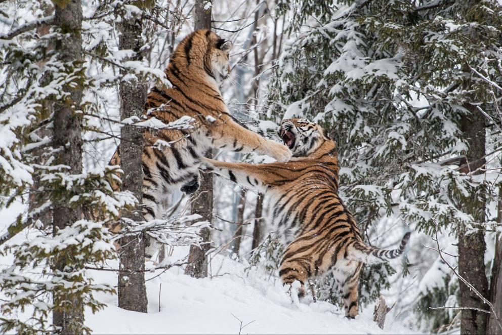 Svezia la lotta delle tigri siberiane nella neve for Disegni delle tigri