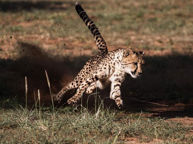 I ghepardi verso l'estinzione: ne restano solo poche migliaia