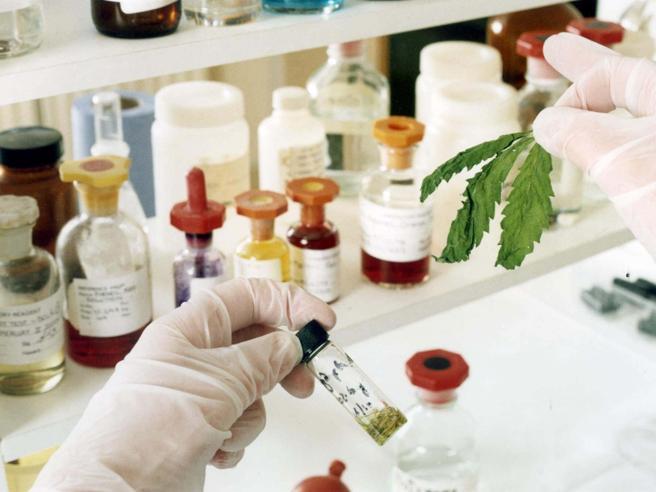 A gennaio arriva nelle farmacie la cannabis terapeutica