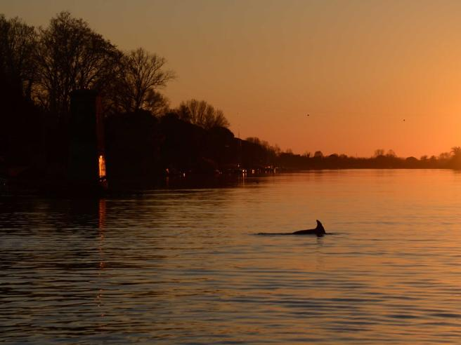 Pisa: delfino si perde nell'ArnoSalvato, lo chiamano Capodanno