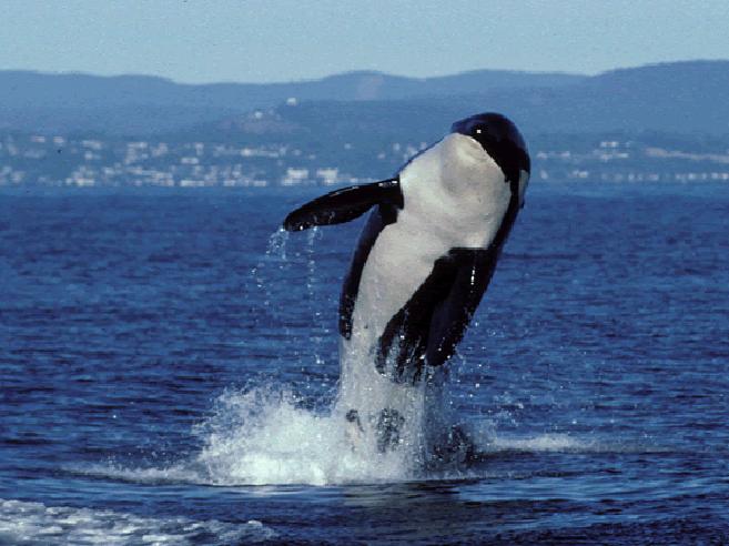 Morta l'orca più vecchia al mondo«Granny» aveva 105 anni Le foto