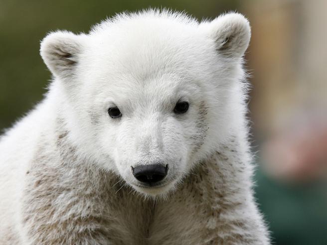 Cuccioli di orso polare a rischioLa nuova minaccia si chiama «Pop»