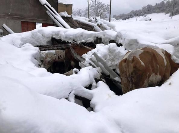 Terremoto in Centro Italia, crollate le stalle: è strage di animali