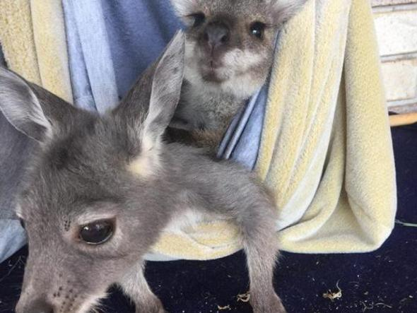 Due cuccioli di canguro orfani curati dalla «Upper Hunter Valley Wildlife Aid group»
