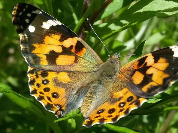 Farfalla della specie Vanessa del cardo
