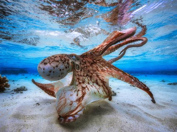 Un polpo in una laguna dell'isola Mayotte (Gabriel Barathieu/Underwater Photographer of the Year 2017)