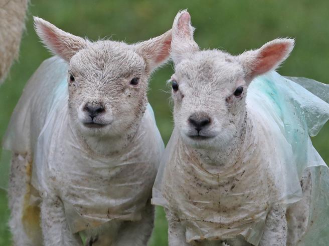 Gran Bretagna: gli agnelli con l'impermeabile. Così gli animali si proteggono dalla tempesta Doris