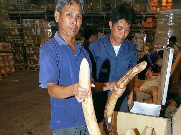 Zanne d'elefante sequestrate ai contrabbandieri in Thailandia (Ansa)