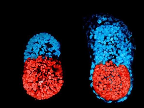 L'embrione artificiale per studiare senza cavie animali