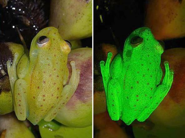 A sinistra la rana a luce naturale, a destra agli ultravioletti (Faivovich/Taboada)