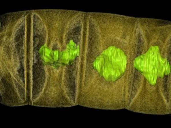 I primi organismi pluricellulari vegetali (S. Bengtson/Plos Biology)