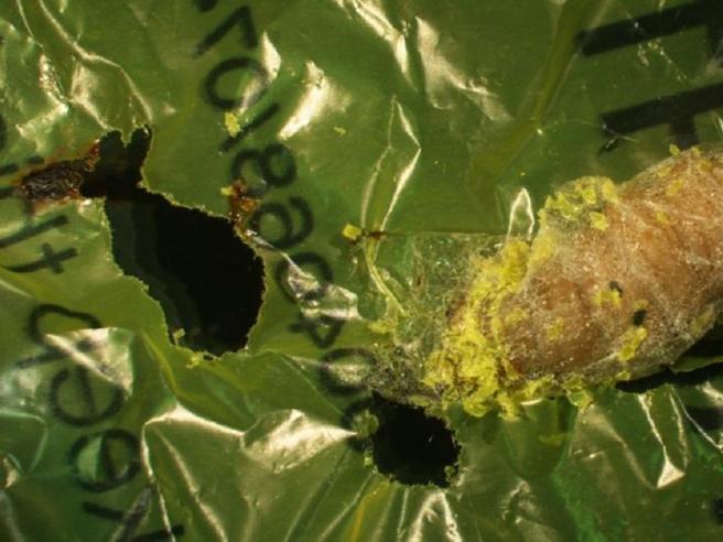 La scoperta italiana:c'è un insetto che mangia la plastica È la tarma della cera