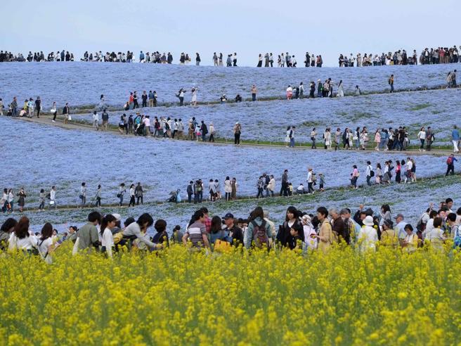 Giappone, lo spettacolo della fioritura di nemophila: e il prato diventa un mare blu