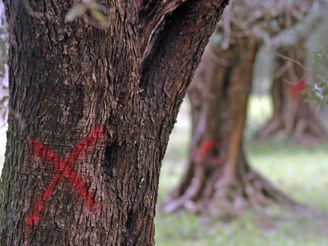 Xylella, così si estirpa il batterio che ha infettato 2 milioni di ulivi