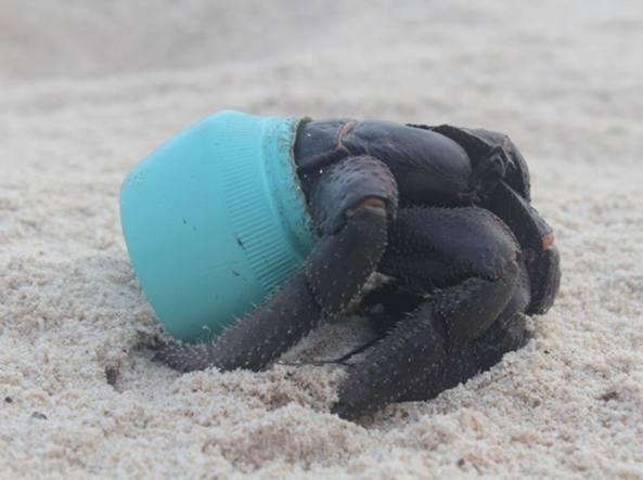 Un granchio si nasconde in un tappo di plastica su una delle spiagge dell'isola di Henderson (foto Ap)