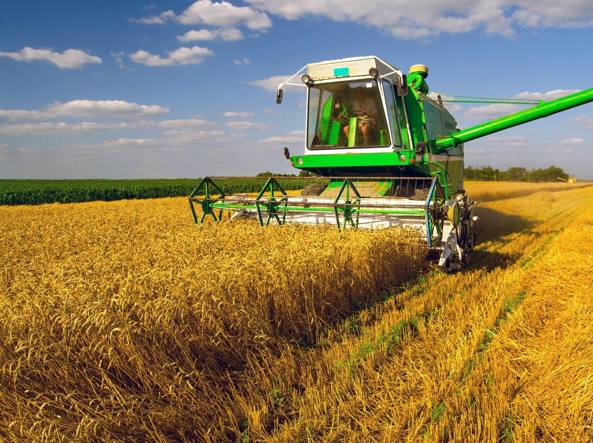 Mietitura del grano in un campo del Tavoliere delle Puglie