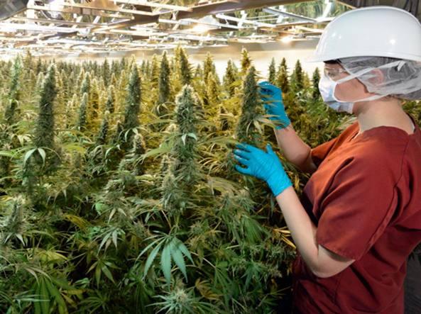 Bologna: da oggi in Italia arriva in commercio la marijuana legale