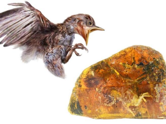 L'uccellino di 100 milioni di anni fa conservato nell'ambra