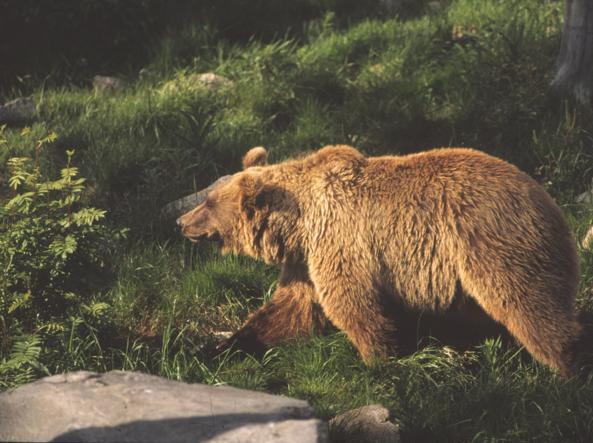 Un orso avvistato nei boschi del Trentino