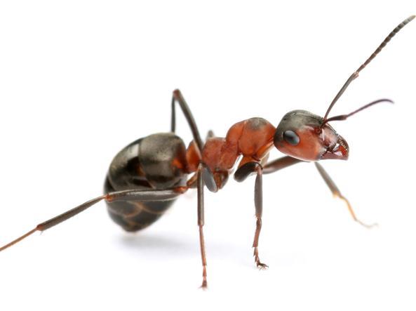 Invasione di formiche in casa cosa fare senza perdere la - Come eliminare le formiche in casa ...