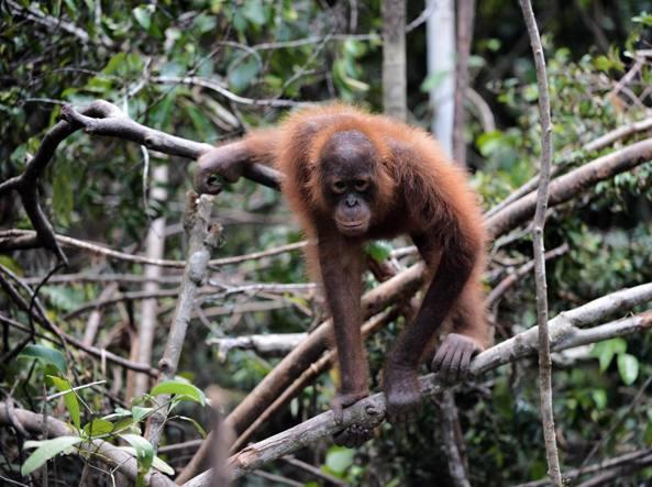 Un orango del Borneo, si tratta di una delle specie più a rischio estinzione (Afp)