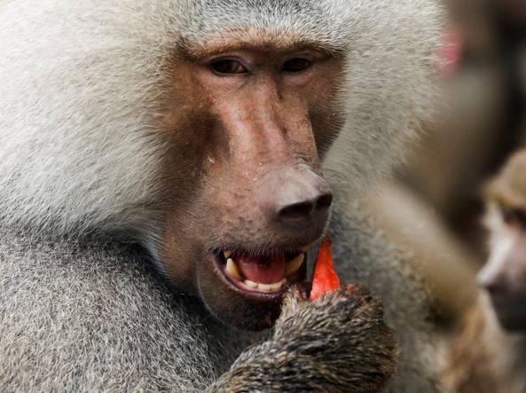 Un babbuino in una foto d'archivio (Reuters)