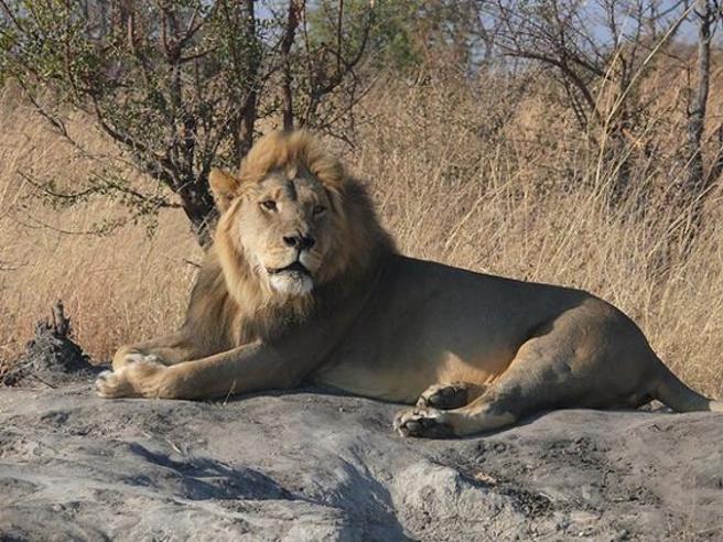 «Xanda ucciso dai cacciatori di trofei»: è morto il figlio di Cecil, il re leone africano Foto