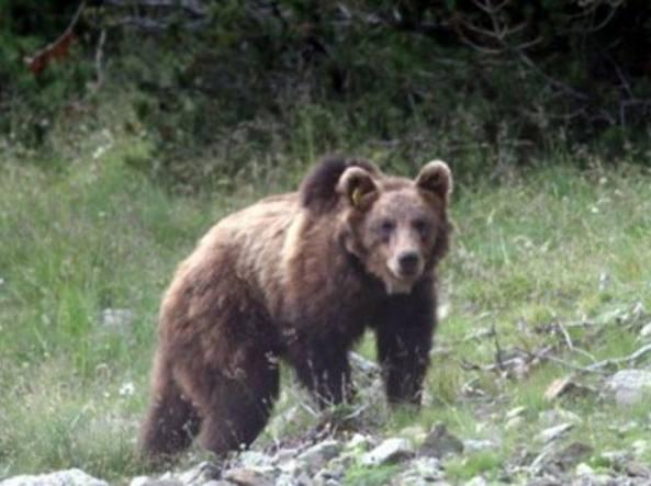 Trentino: uomo aggredito da un orso, morso a un braccio