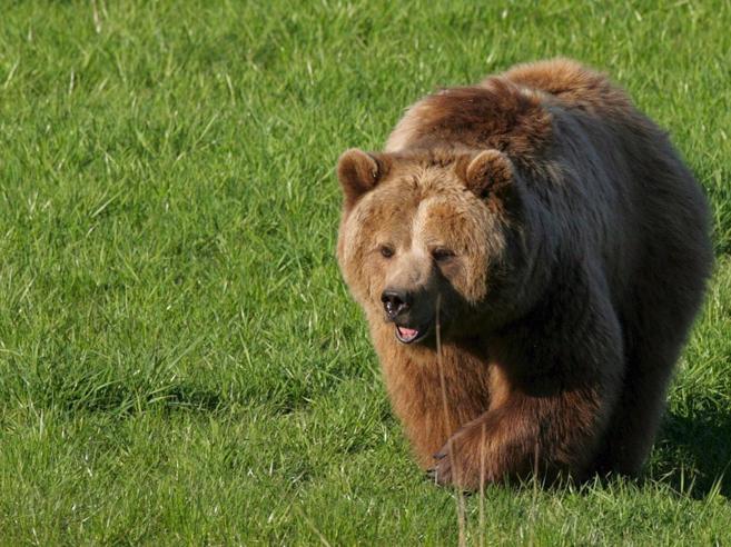 «Mordeva, mi trascinava Così mi sono salvato dall'attacco dell'orsa»Scatta l'ordine di cattura