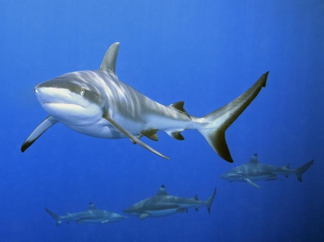 Sapete chi sta difendendo le barriere coralline? Gli squali Foto