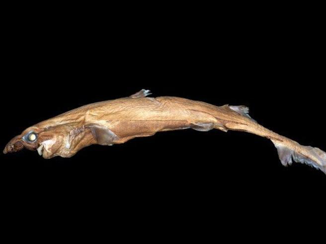 Scoperta una nuova specie di squalo che brilla nel buio| Foto
