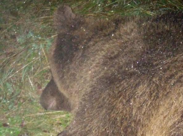 L'orsa Kj2 durante la fase di cattura da parte dei forestali nel 2015 (Ansa)