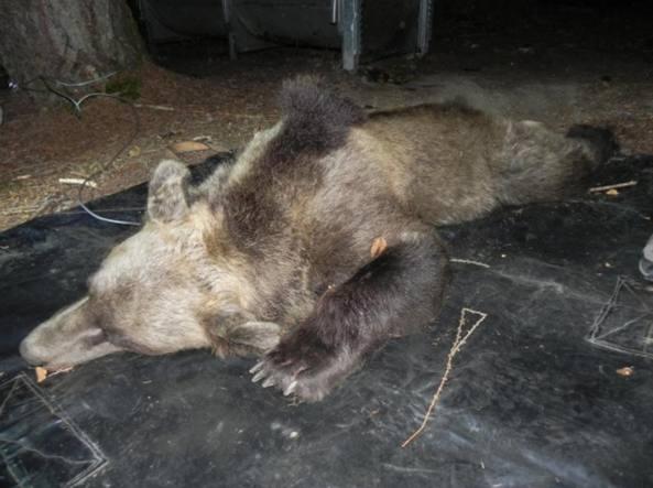L'orsa Kj2 quando è stata intrappolata e «radiollarata» ai primi del mese di agosto (Foto da Twitter)