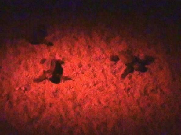 Le prime tartarughe nate (Foto da Facebook/Yuri Tiberto)