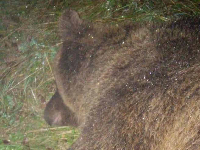 «KJ2 un pericolo per gli uomini» L'orsa uccisa: giusto abbatterla?