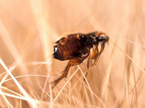 Focolaio di peste in arizona pulci infette e tre casi for Punture pulci
