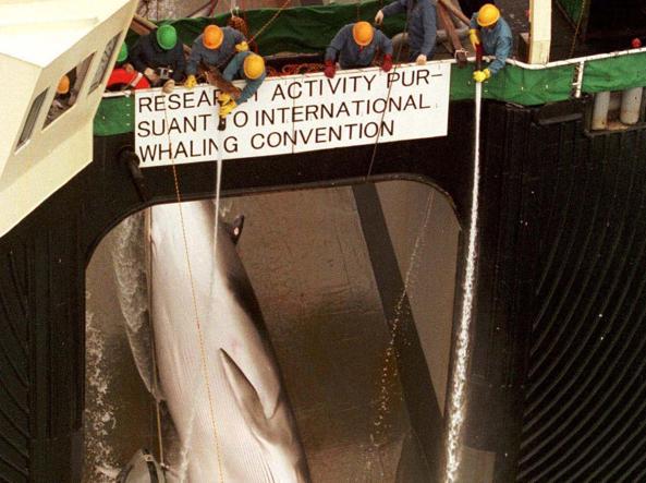 La scritta sulla baleniera giapponese recita: «Attività di ricerca»... (foto Reuters)